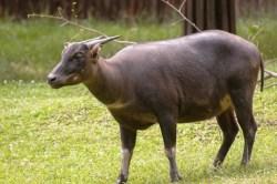Konservasi Anoa di Bumi Mekongga Sebagai Fauna Endemik Sulawesi