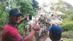 Pohon Kelor unik berdaun putih milik warga di Buton, Sultra. (Foto: Izam untuk Sultrakini.com)