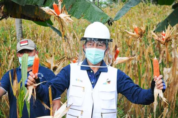 Panen dan Ba Kobong, Walikota GSVL : Ayo dimasa Pandemi Covid 19 ini Mari Torang Lanjutkan Bakobong Untuk Ketahanan Pangan Keluarga