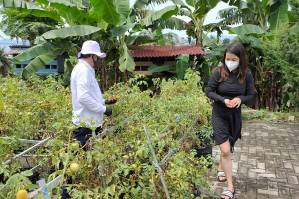 Hasil Ba Kobong Dengan Menggunakan Polybag, Walikota GSVL Panen Tomat ditemani Putri Tercinta Gracia Lumentut