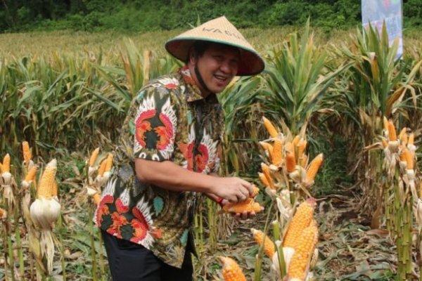 Dukung Ketahanan Pangan, Wagub Kandouw Panen Jagung dan Padi di Minahasa