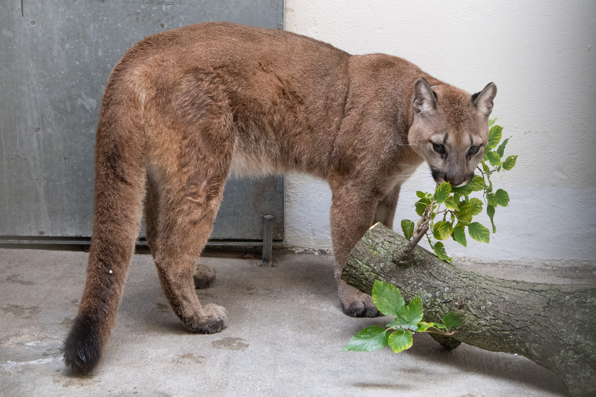 The cougar gnaws at a leafy branch on a tree trunk that's been chopped off