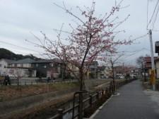 メインの会場からはなれた河津桜の木