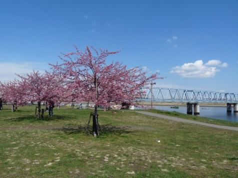 橋の側の河津桜