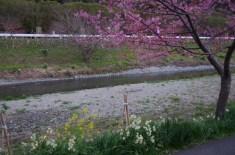 河津桜と水仙と菜の花