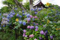 紫陽花とひまわりの共演