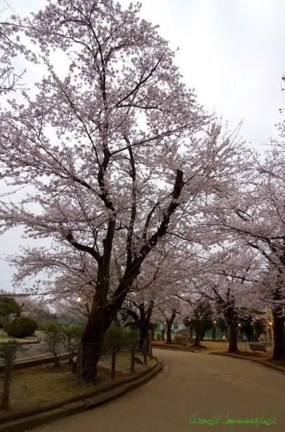 桜のトンネル入口