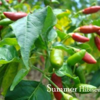 ROTABASCO RED HOT CHILI PEPPER