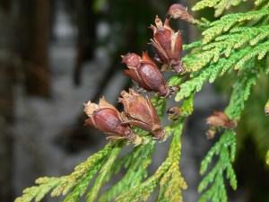 Arborvitae Thuja plicata (Courtesy of Wikipedia)