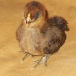 Easter Egger Chick 2 Weeks Old