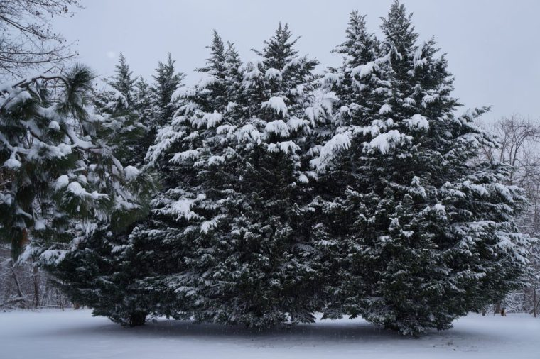 Leyland Cypress Trees Covered in Snow