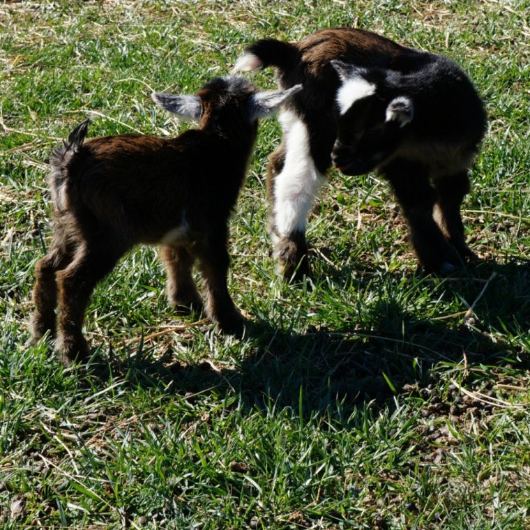 1 Day Old Twin Nigerian Dwarf Goat Kids