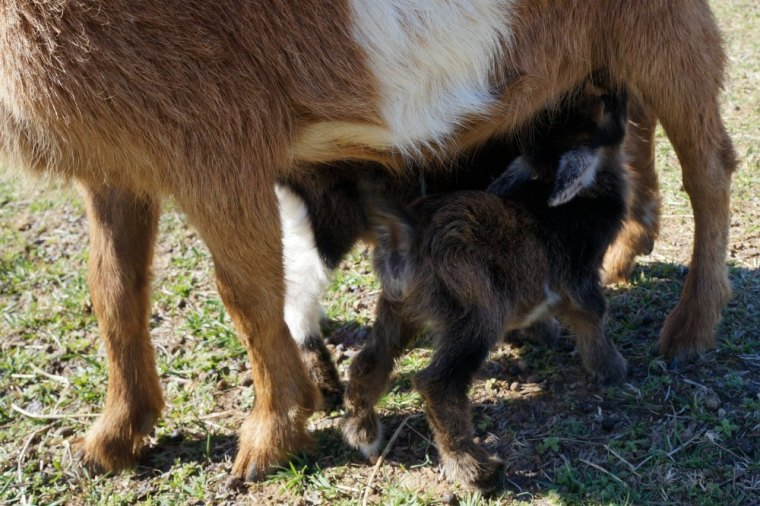 Nigerian Dwarf Goat 1 Day Old Twin Kids Nursing