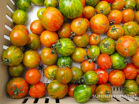 Red Zebra Tomatoes