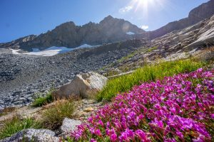 Flowers, rocks, and glacier at Norman Clyde Peak