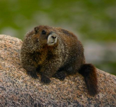 Hey there, marmot!