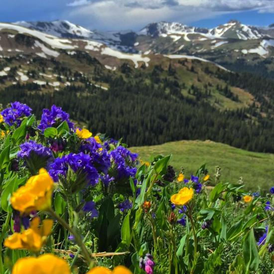 Colorado's alpine tundra in bloom.