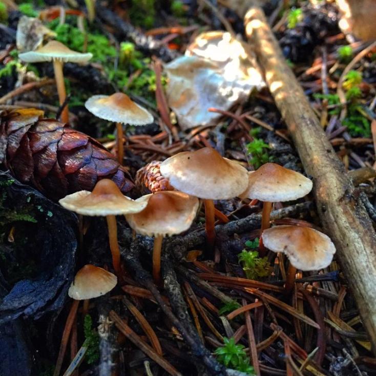Tiny Mycena in pine litter.