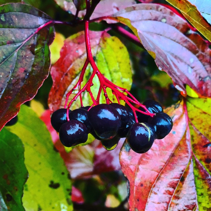 Berries gleam in the rains of autumn.