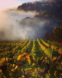 Early November morning mist gives way to sunshine in the vineyards near Leibnitz, Austria.