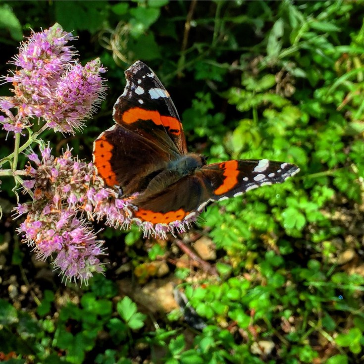 A red admiral stops to gather food at some wildflowers in the Austrian Alps.