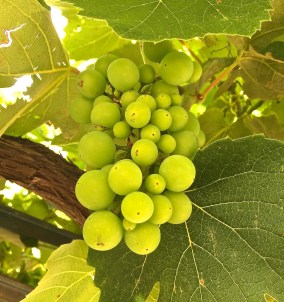 Ripening in the vineyards of Provence.