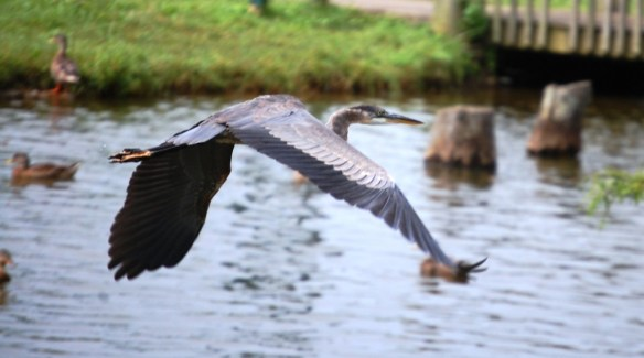 Graceful blue heron in flight over the water