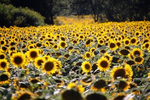 Sunflowers near Seymour, Wisconsin