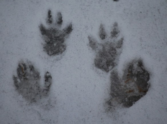 Squirrel Prints in the Snow