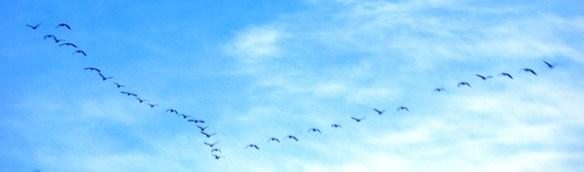 Geese in formation below the clouds