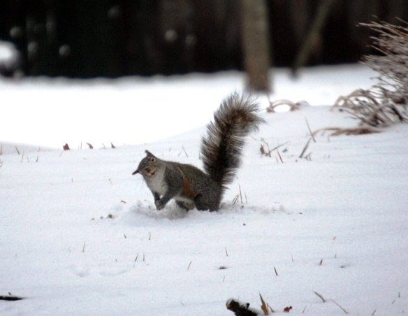The Snowball Squirrel