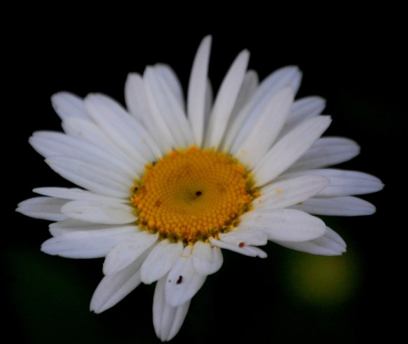 A white daisy
