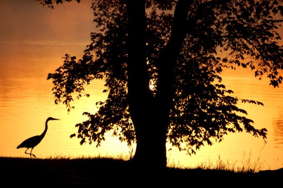 My all time favorite shot of a blue heron...taken at sunrise.