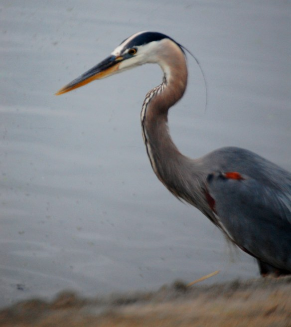 Blue heron watches for a meal