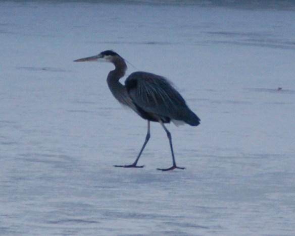 A blue heron walks on a frozen pond