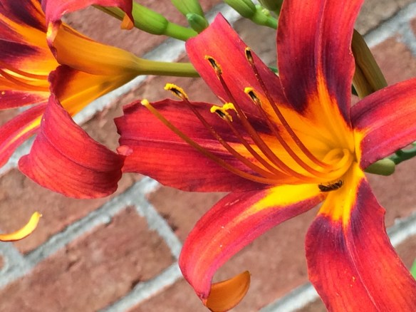 The amazing colors of a lily blossom