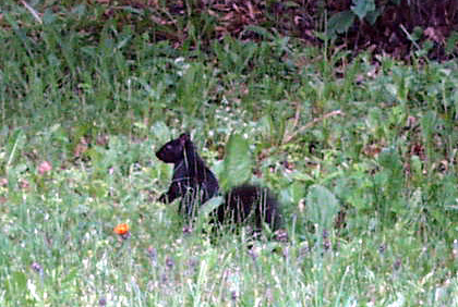 Black Squirrel taken in Canada