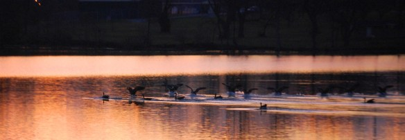 Geese hit the water for an early morning swim. It is wonderful to see them glide into the lake in tandem