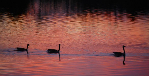 Geese swim by as they await the grand entrance of the sun