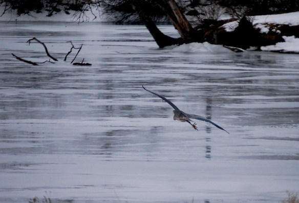 A blue heron gracefully glides over the ice on Jacobson Lake