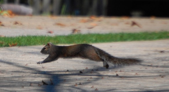 Leaping Squirrel