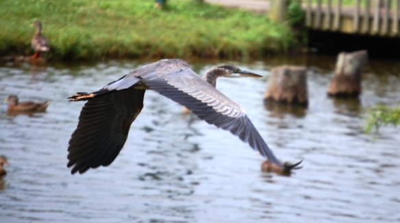 Blue Heron in Flight at Jacobson Lake in Lexington