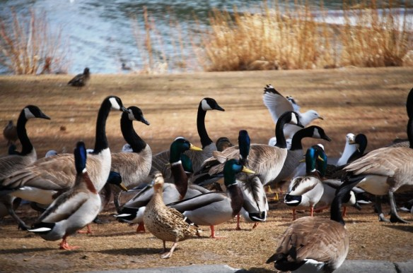 This party is for the birds - geese, ducks and seagulls socialize in Idaho Falls