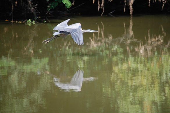 A blue heron in flight over the Kentucky River, near Shakertown