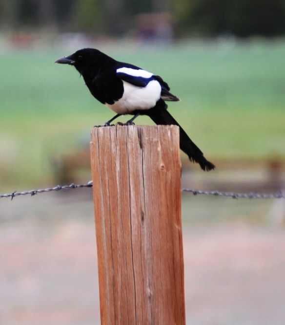 A black and white bird on a fencepost near Yellowstone National Park
