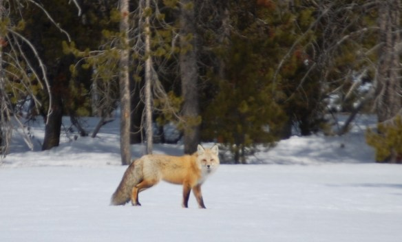 Fox in Grand Tetons, Wyoming