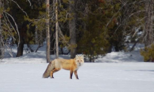 Fox in Grand Tetons, Wyoming