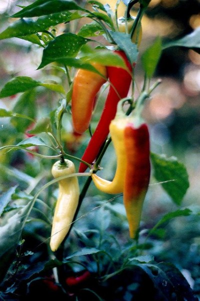 when to pick hot banana peppers, orange for mild, red for hot