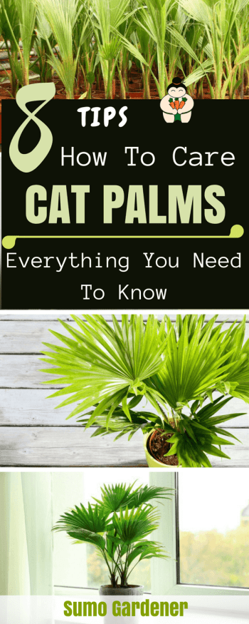 8 Tips How To Care Cat Palms