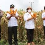 Bupati Karo Hadiri Panen Jagung Nusantara di Desa Payung